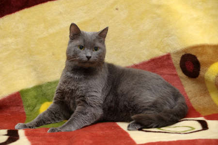 pity: smooth gray cat