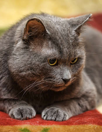 smooth gray cat photo