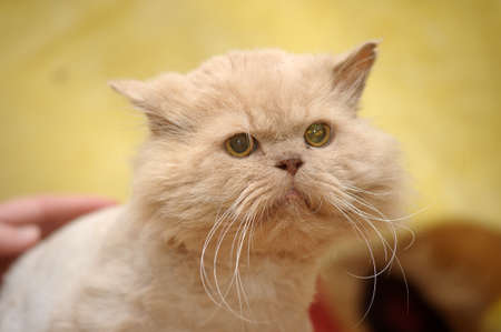 cropped red Persian cat Stock Photo - 17458232