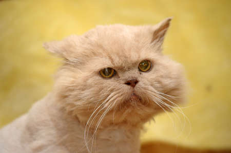 cropped red Persian cat Stock Photo - 17458230