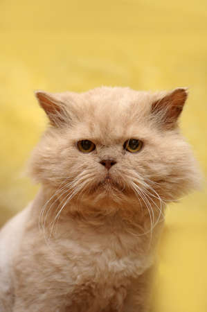 cropped red Persian cat Stock Photo - 17458228