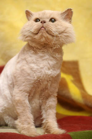 cropped red Persian cat Stock Photo - 17458231