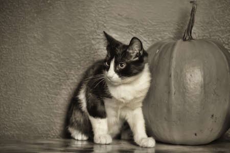 Black and white young cat and pumpkin photo