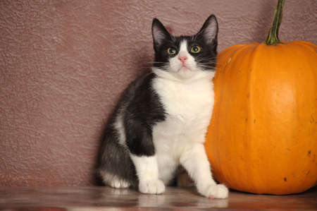 Black and white young cat and pumpkin Stock Photo - 17107511