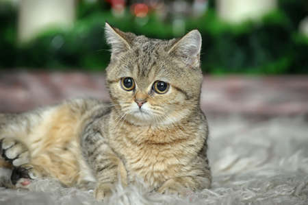 British kitten Stock Photo - 17085442