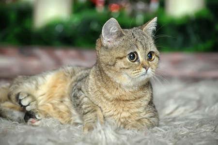 British kitten Stock Photo - 17085450