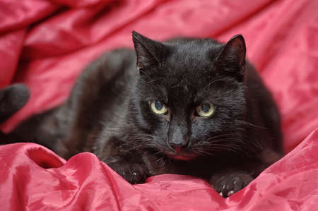 Portrait of a black cat  photo