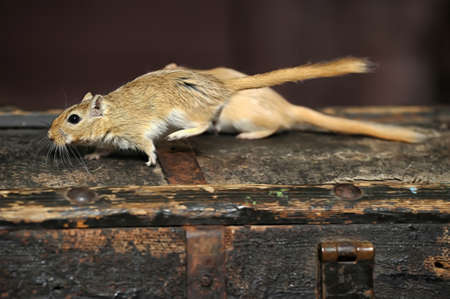 mouse gerbil Stock Photo - 17051585