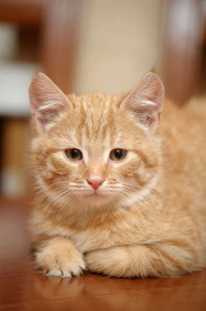 Ginger kitten Stock Photo - 17085473