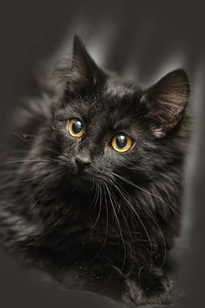 beautiful portrait of a black kitten on black background photo