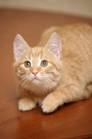 prying: Ginger kitten