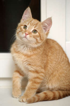 Ginger kitten Stock Photo - 17085477