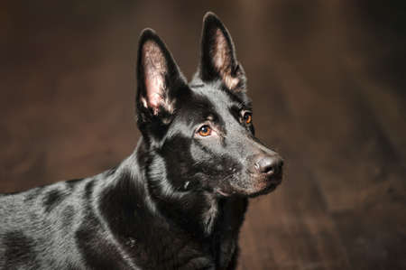 Black german sheepdog portrait Stock Photo - 17084868