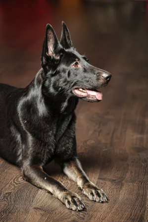 Black german sheepdog portrait photo