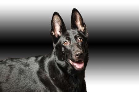 Black german sheepdog portrait Stock Photo - 17084859