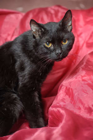 black cat on a red background Stock Photo - 17107448
