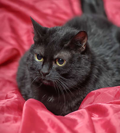 black cat on a red background photo