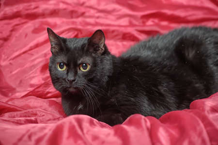 black cat on a red background Stock Photo - 17107383