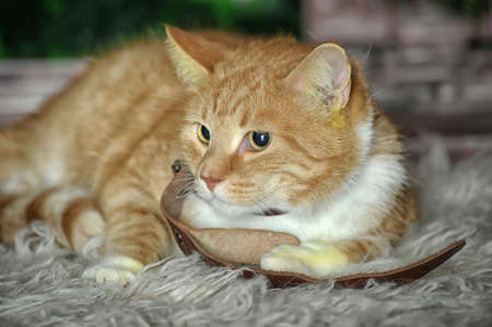 ginger and white cat photo