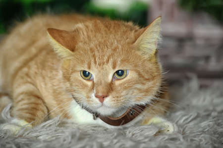 ginger and white cat Stock Photo - 17107450