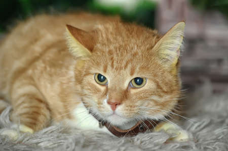 litle: ginger and white cat