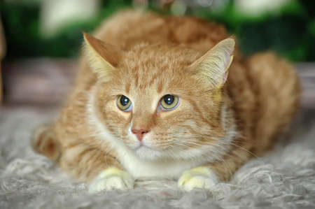 ginger and white cat Stock Photo - 17107418
