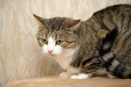 European shorthair cat Stock Photo - 17264416