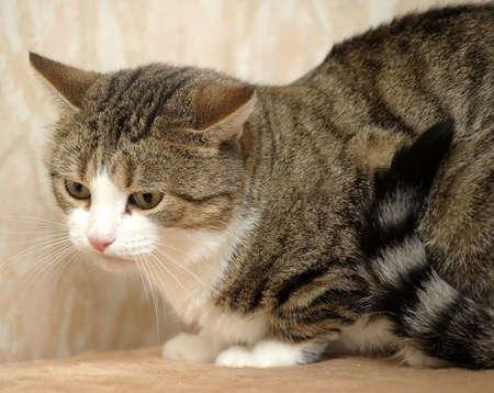 European shorthair cat Stock Photo - 17264414