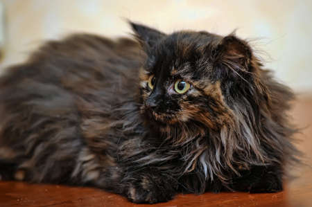 fluffy tortoiseshell kitten Stock Photo - 17459109