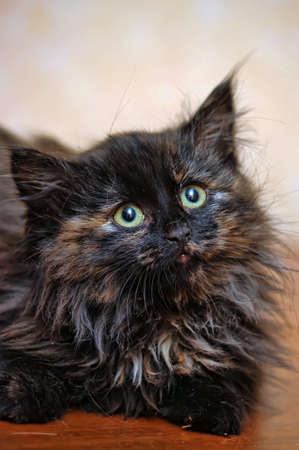 fluffy tortoiseshell kitten photo