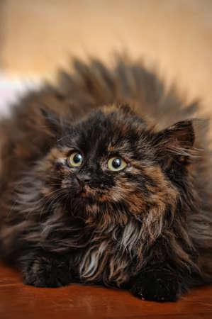 tortoiseshell: fluffy tortoiseshell kitten