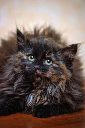 fluffy tortoiseshell kitten Stock Photo - 17459060
