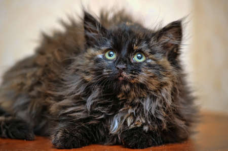 fluffy tortoiseshell kitten Stock Photo - 17459055