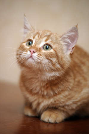 ginger kitten Stock Photo - 17458939