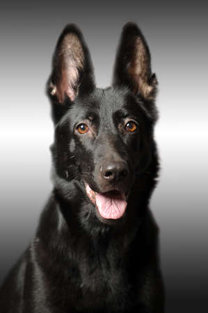 Black german sheepdog portrait Stock Photo - 17366974