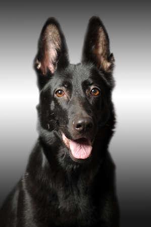 Black german sheepdog portrait Stock Photo - 17366974