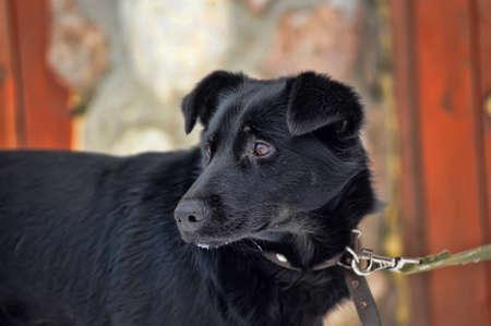 Portrait of black dog s head Stock Photo - 17357796