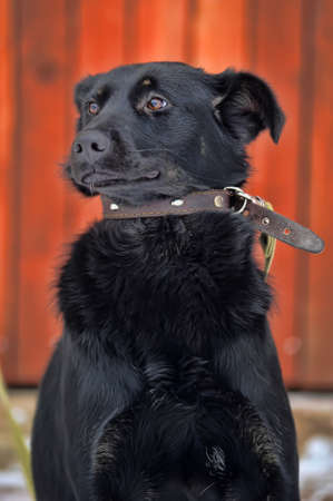black mongrel with a collar photo