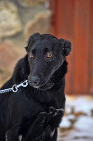 black mongrel with a collar Stock Photo - 17458299