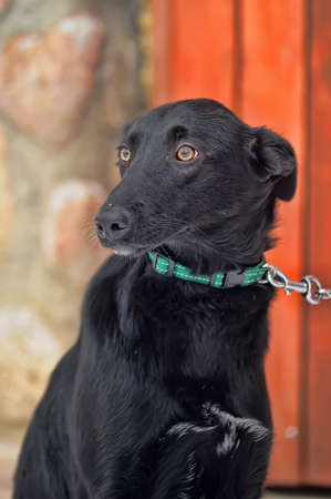 black mongrel with a collar Stock Photo - 17458278
