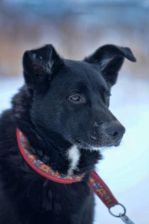 black mongrel with a collar Stock Photo - 17458281