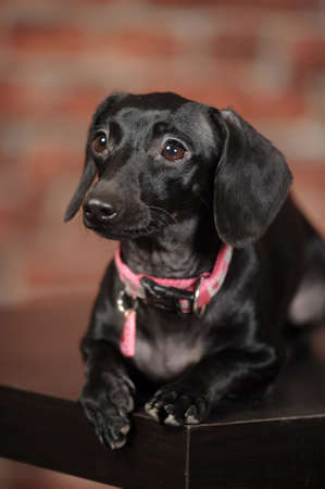 mestis Dachshund photo