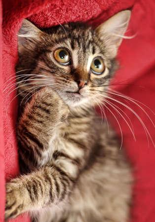 fluffy cute tabby kitten Stock Photo - 17266525