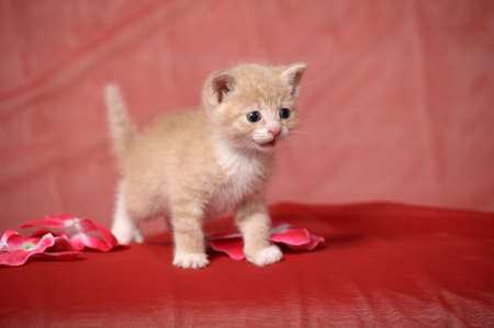 Peach color  kitten photo