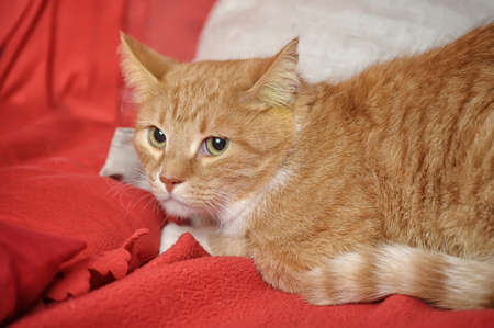 ginger tabby cat Stock Photo - 17391604