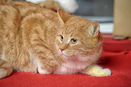ginger tabby cat Stock Photo - 17391600