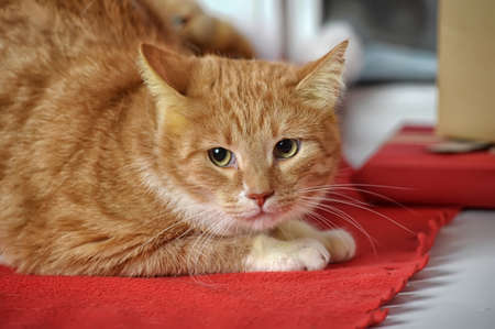 ginger tabby cat Stock Photo - 17391594