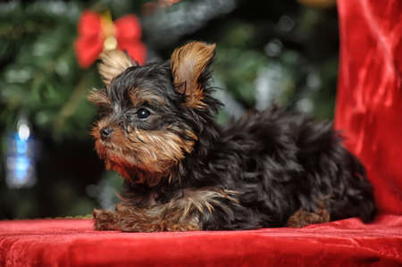 Yorkshire terrier greets the New Year photo