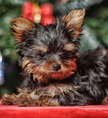 York puppy Stock Photo - 17387492