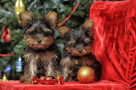 Two Yorkshire Terrier puppies sit together photo